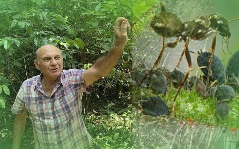 Kopi Semut Brazil